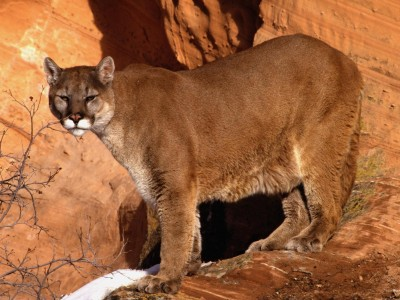 Animal wallpapers - Mountain Lion