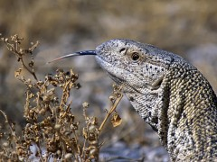 Animal wallpapers - Giant Ground Lizard