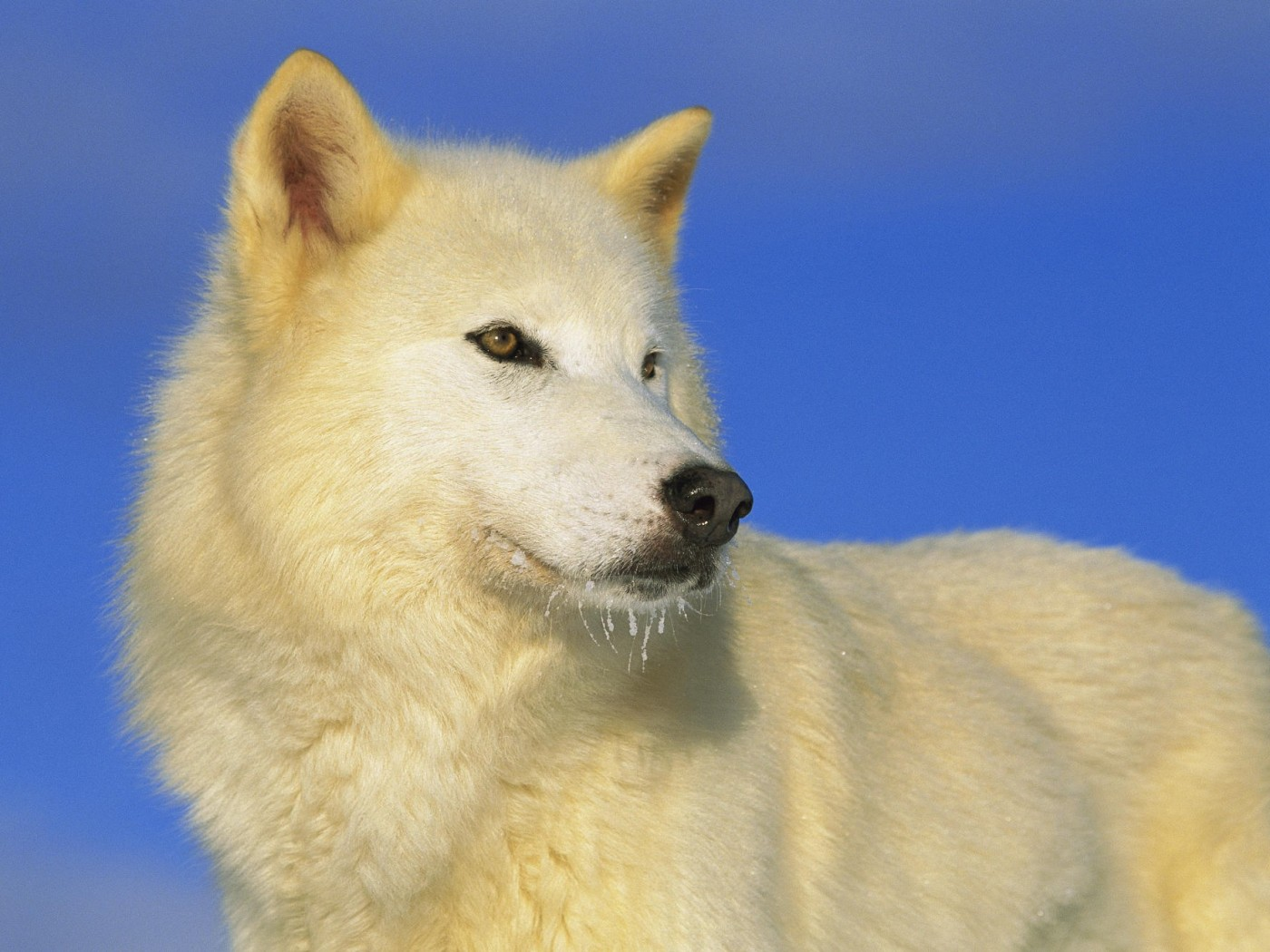 Animal wallpapers - Arctic Wolf