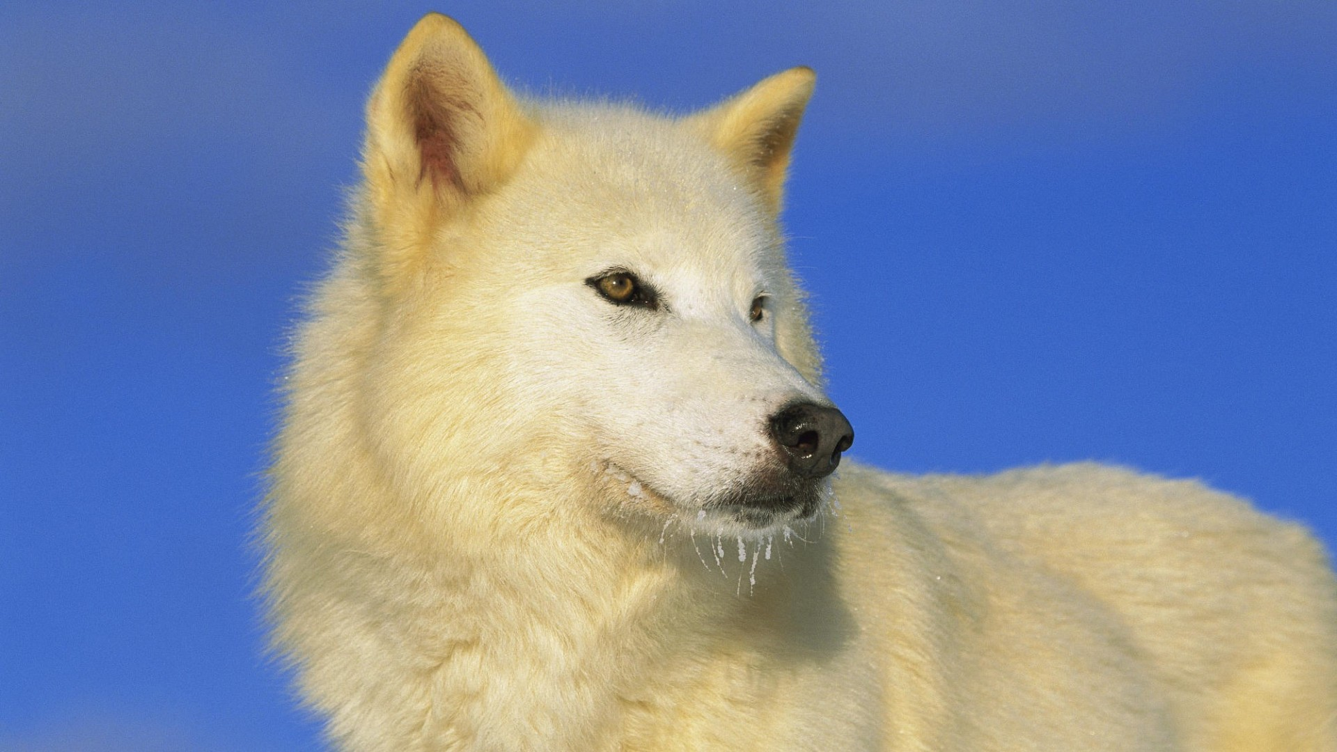 wallpapers-catalogue - animal wallpapers - arctic wolf in