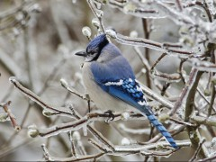 Blue Jay (Bird) wallpaper in HD and many other resolutions.