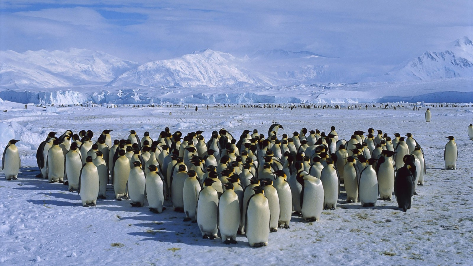 Antarctica wallpapers - Emperor Penguin Colony