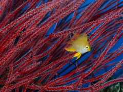 Golden Damselfish in Front of Red Sea Fan