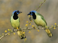 Green Jays, Texas