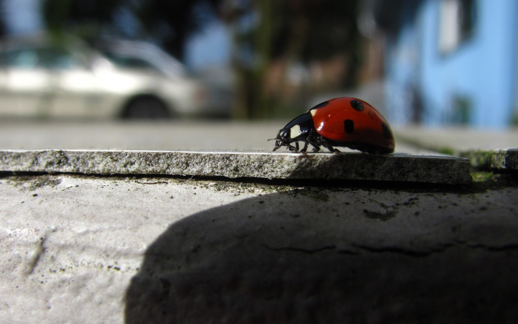 Insect wallpapers - Coccinellidae