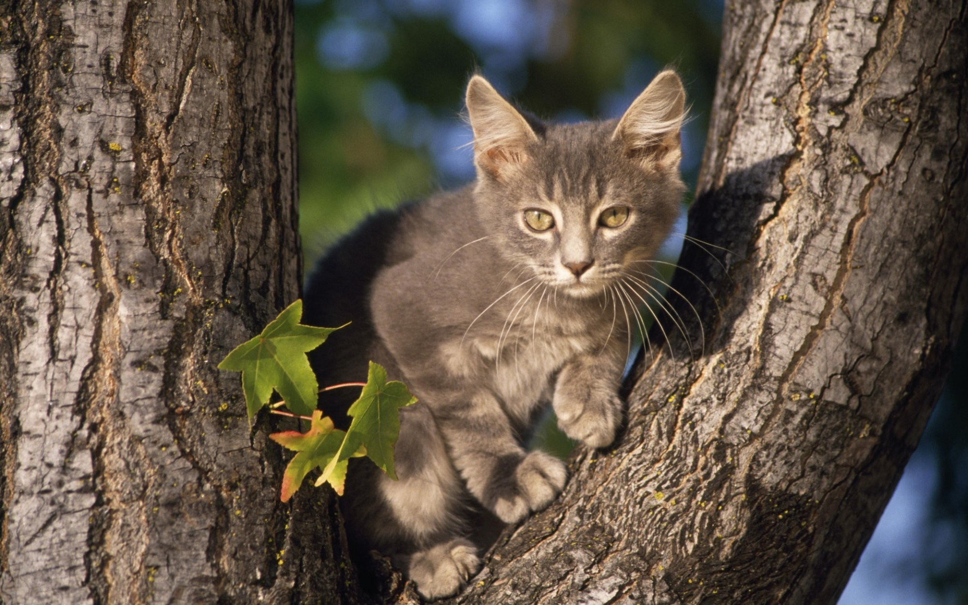 Perched Gray Domestic Shorthair Cat Wallpaper In Hd And Many Other Dimensions 4x3 5x4