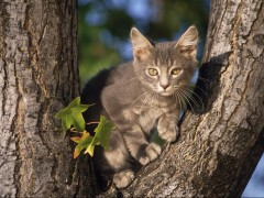 Perched Gray Domestic Shorthair Cat wallpaper in HD and many other dimensions 4x3, 5x4, 16x9, 2x3 and many others,