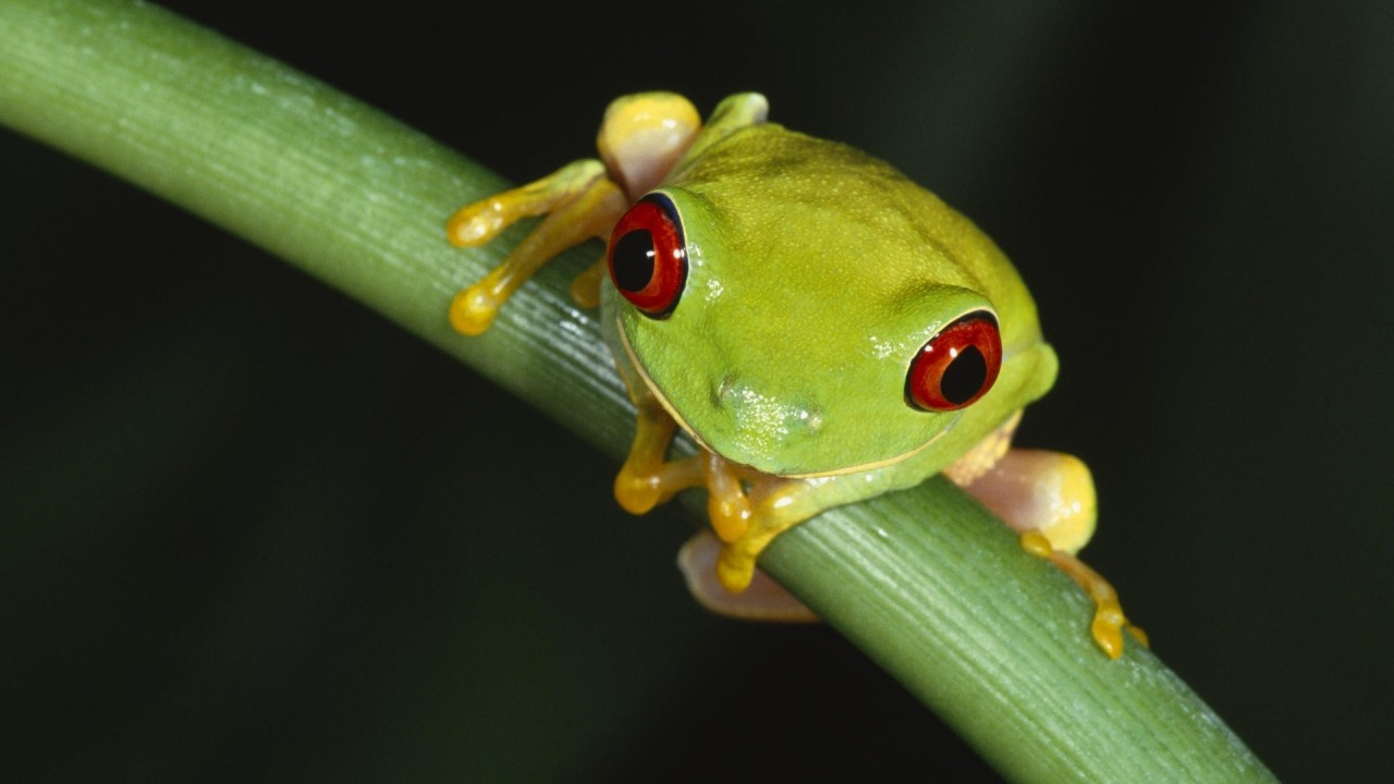 Wallpapers Catalogue Com Red Eyed Tree Frog In 1280x720 Resolution