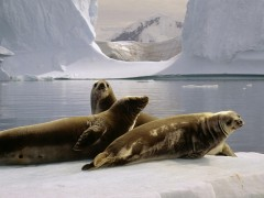 Antarctica animals wallpapers - Seals