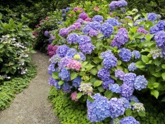 Flower wallpapers - Strafford Hydrangea