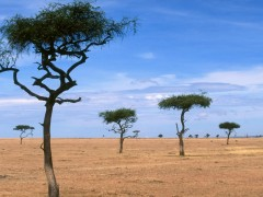Nature wallpapers - Acacia Trees, Kenya, Africa