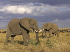 Animals wallpapers - African Elephants