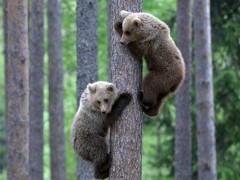 Bear cubs wallpaper