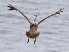 Brown Pelican Landing