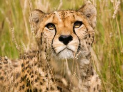 Predator  animal wallaper - Male Cheetah, Wildlife