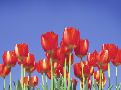 Flower desktop wallpaper - Tulip Garden