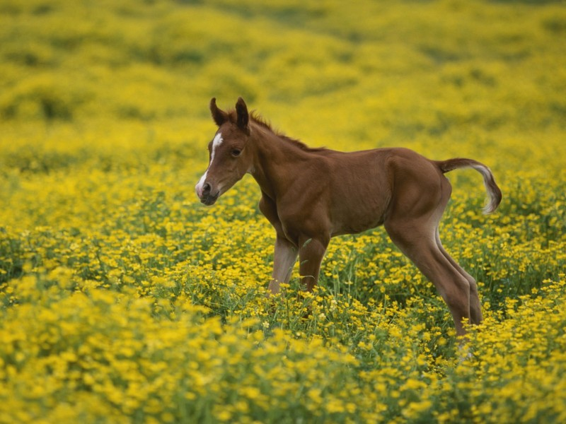 Horse wallpapers - Two Day Old Arabian Colt
