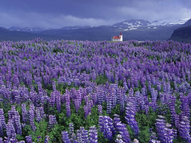 Wild Lupine Iceland wallpapers