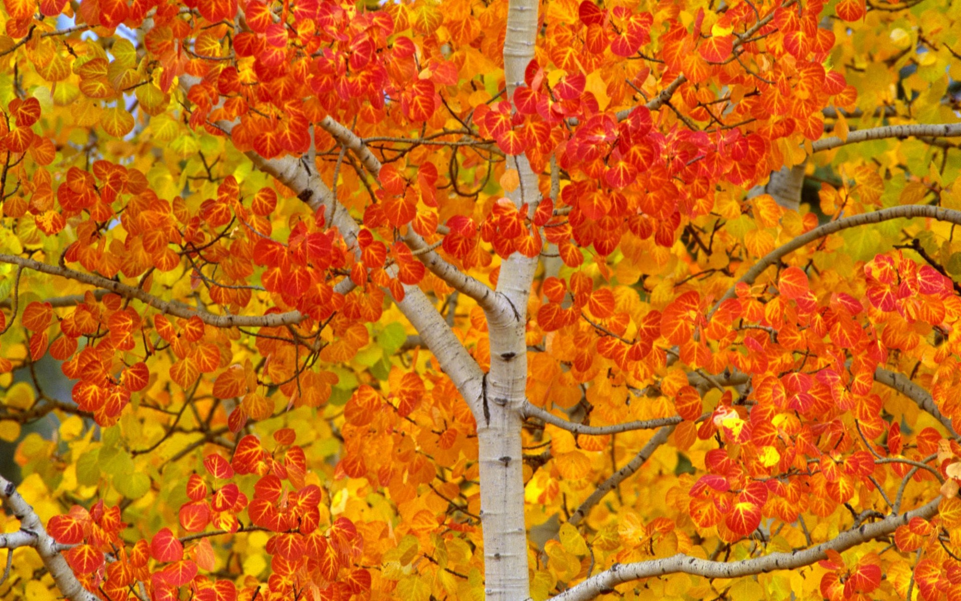Young Aspen Turning Color, Yukon, Canada